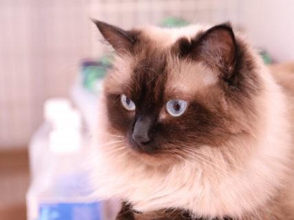 愛猫の体重測定も簡単♪ ペットモードを搭載した体重計「CA-100」タニタから発売