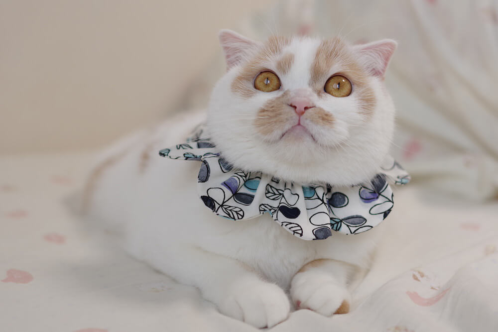 ザビエル首輪を身につける人気猫のホイップ by ホイ主