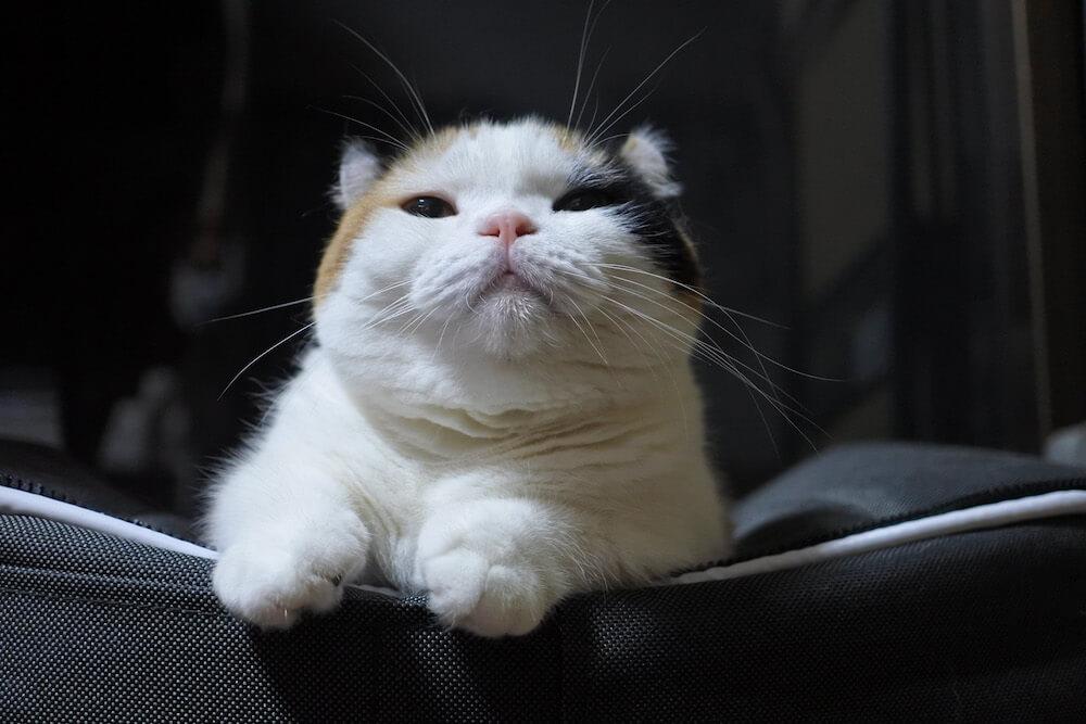 まるっとした三毛猫 bysanchelove