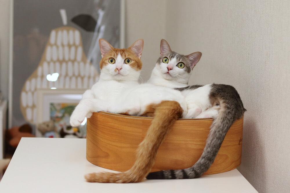 尻尾の角度までシンクロする双子猫のアメカヌちゃん by Riepoyonn