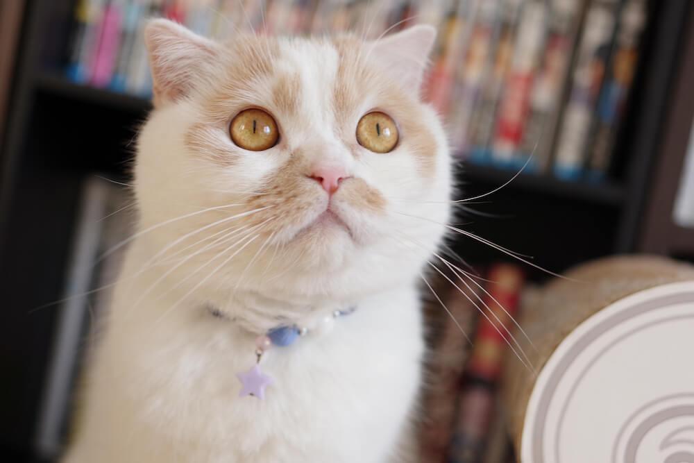 ちくわ柄の人気猫・ホイップ(ホイちゃん)のアップ写真