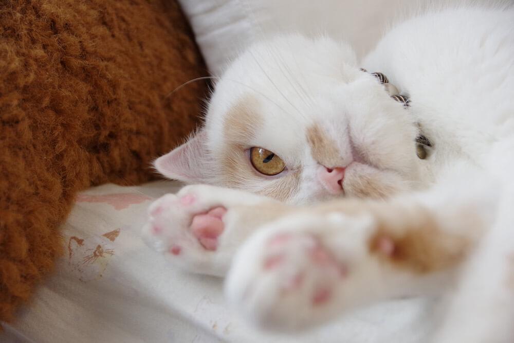 ちくわ柄の人気猫・ホイップ(ホイちゃん)の肉球