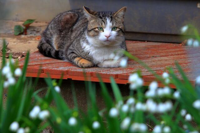 野良猫のキジ白猫