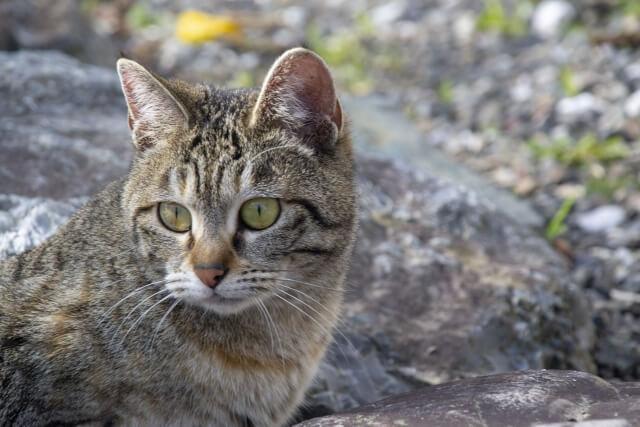 野良猫のキジトラ
