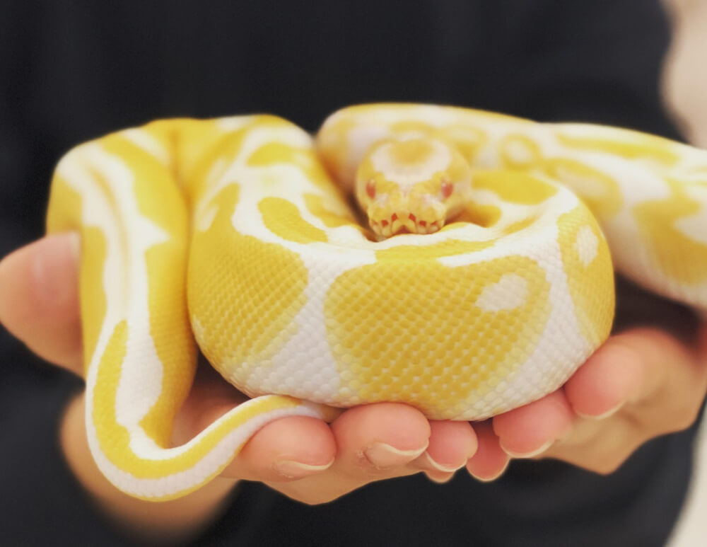 手のひら乗るヘビ by ゆめかわアニマルパーク