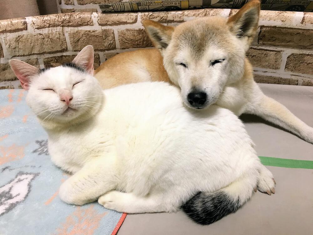 寄り添い合って眠る猫の「くぅ」と犬の「しの」
