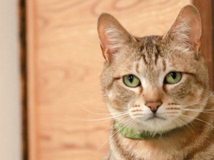 猫はどんな病気やケガをしやすいのか?保険金の請求が多い猫の傷病ランキング2019