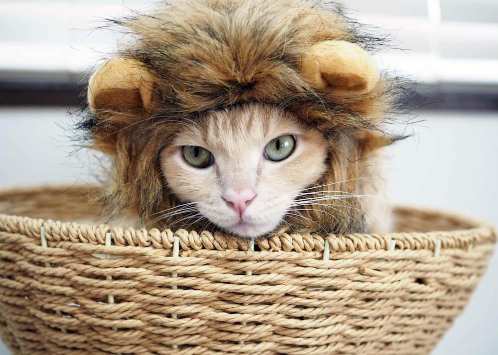 ライオンのかぶりものをした猫「ハナ」の写真(@loveko.hana)