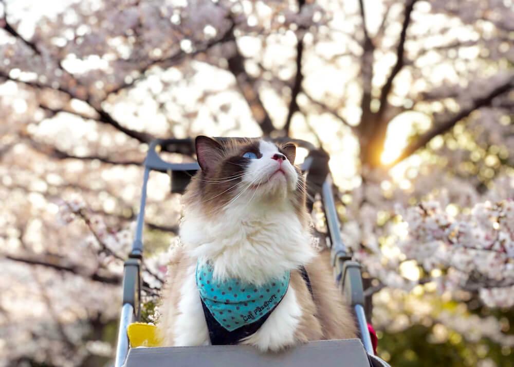 桜を見上げる猫「パリス」の写真(@ceres0917)