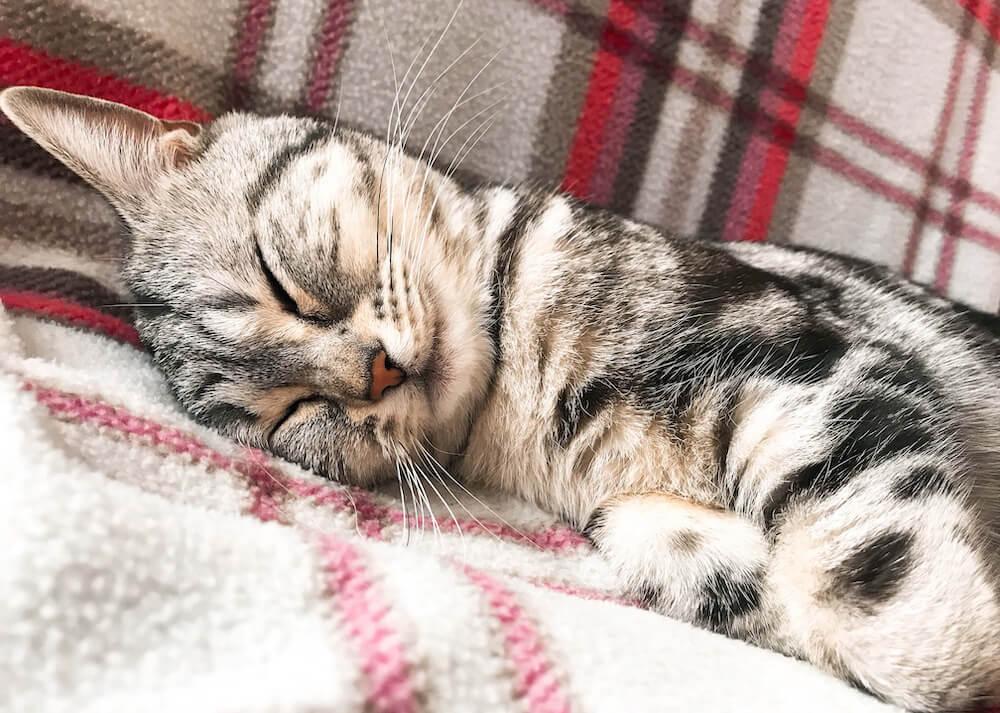 毛布に転がって眠る猫「桃」の写真(@momostagram_ame)