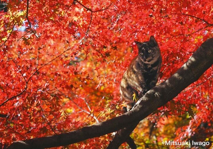紅葉の背景が美しい、京都十輪寺のサビ猫 by 自由ネコ
