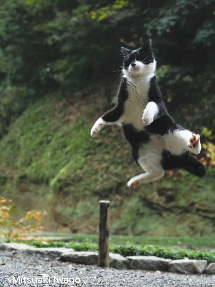 鎌倉市で撮影されたジャンプする黒白猫 by 自由ネコ