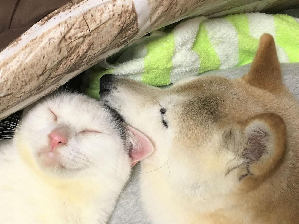 気持ちよさそうに眠る猫の「くぅ」と犬の「しの」