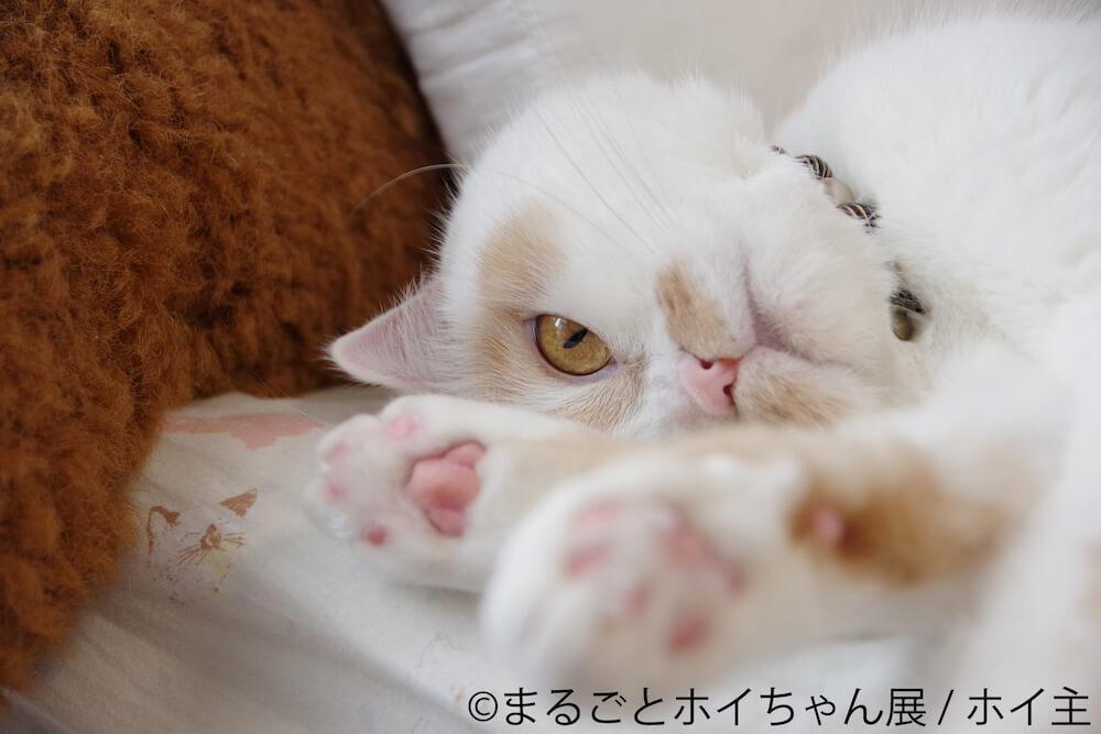頭を下に向けながら見つめる人気猫・ホイップ(ホイちゃん)