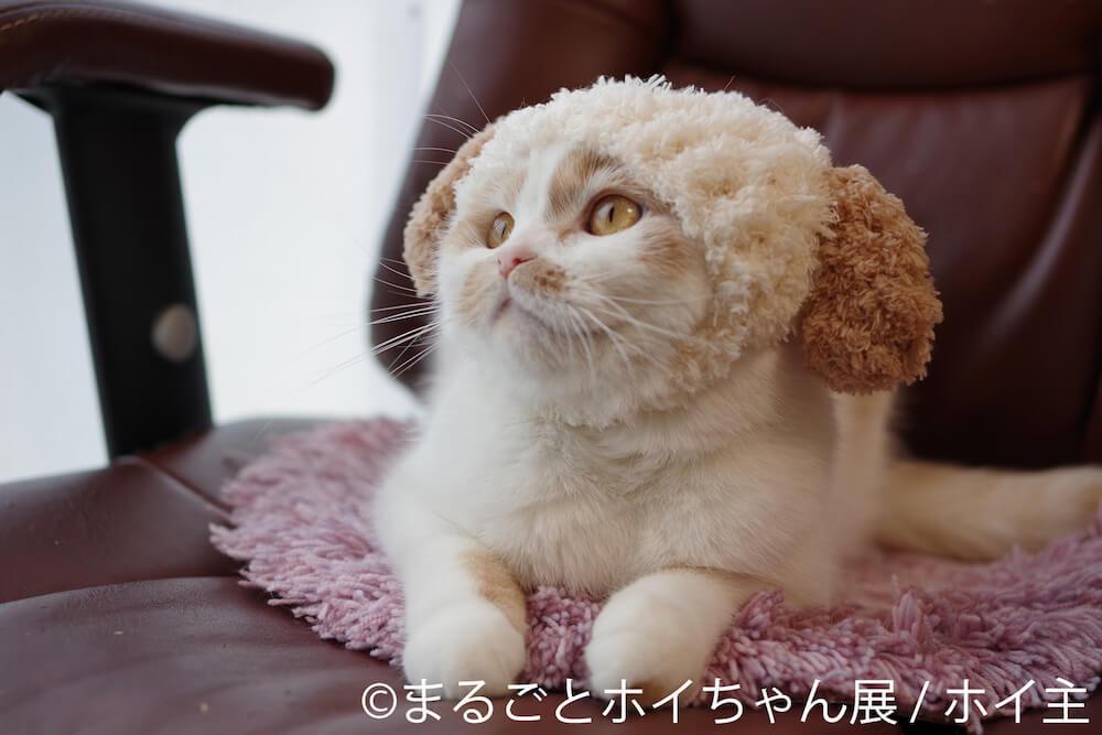 犬のニット帽「ホイッヌ」を被る人気猫・ホイップ(ホイちゃん)