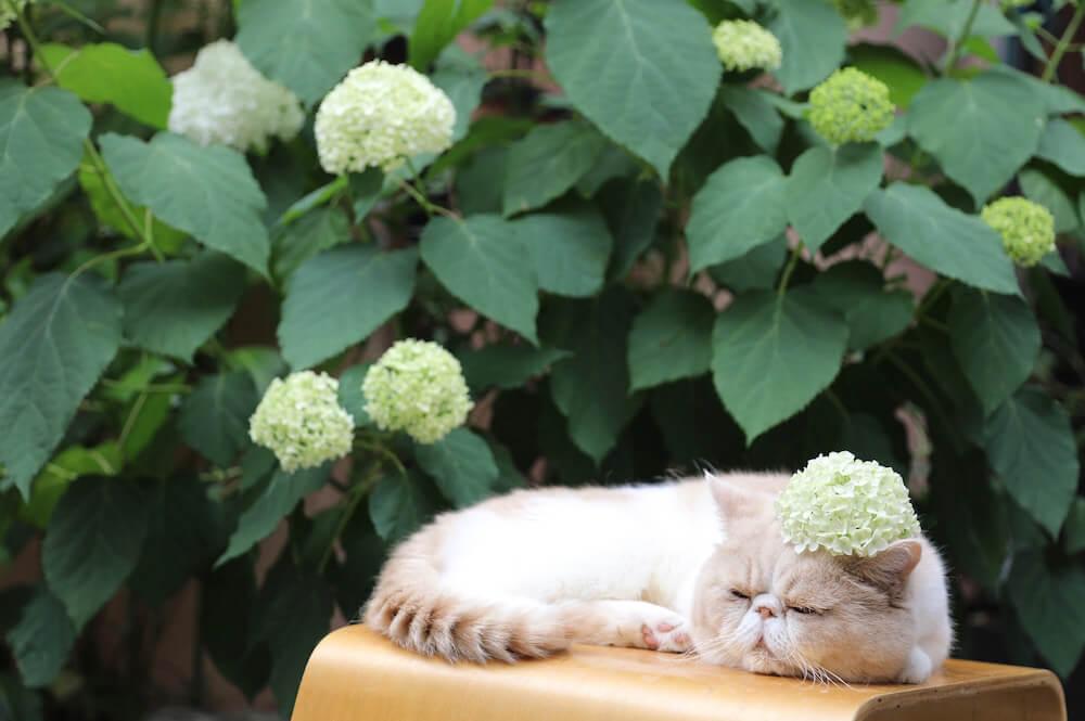 紫陽花を頭に乗せて眠る猫 byネズミイロのネコとバニラ