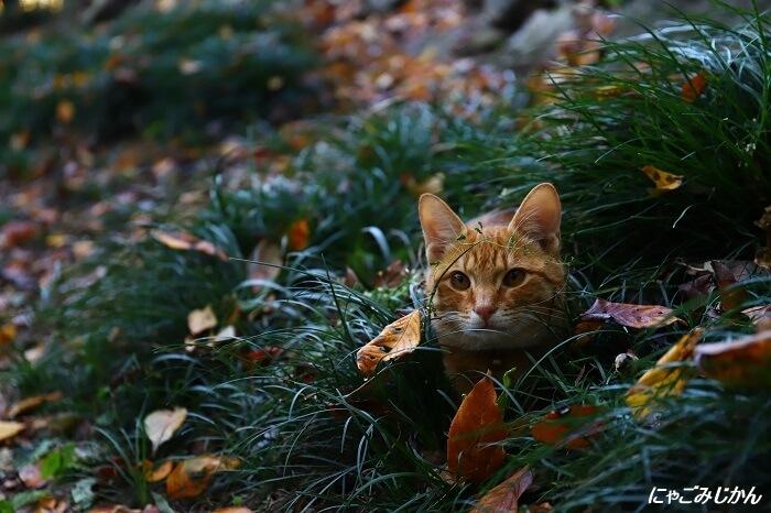 草むらから顔をのぞかせる猫 by きょーこ♪&のぼー「にゃごみじかん」