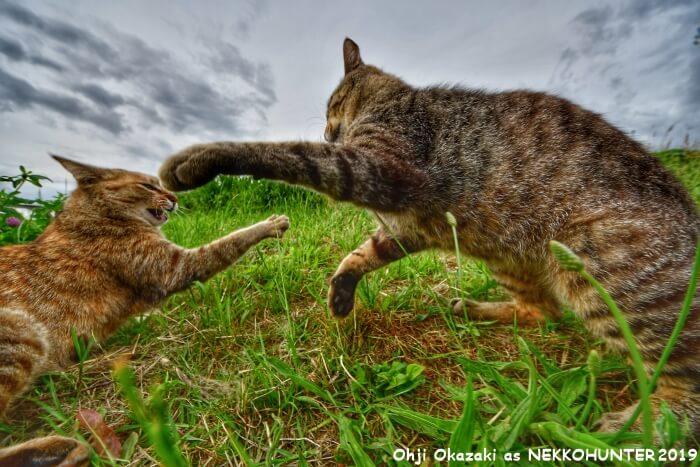 戦う野良猫たちの写真 by 岡崎王子 as ネッコハンター