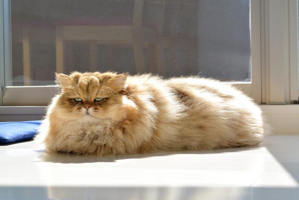 しょんぼり顔の猫ふーちゃんの香箱座り by牧野直樹