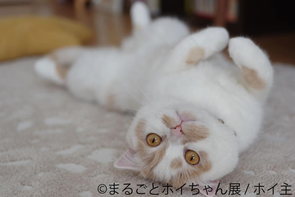 仰向けで1点を見つめる人気猫・ホイップ(ホイちゃん)