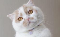 人気猫・ホイップの単独展「まるごとホイちゃん展」が仙台で初開催!6/29から