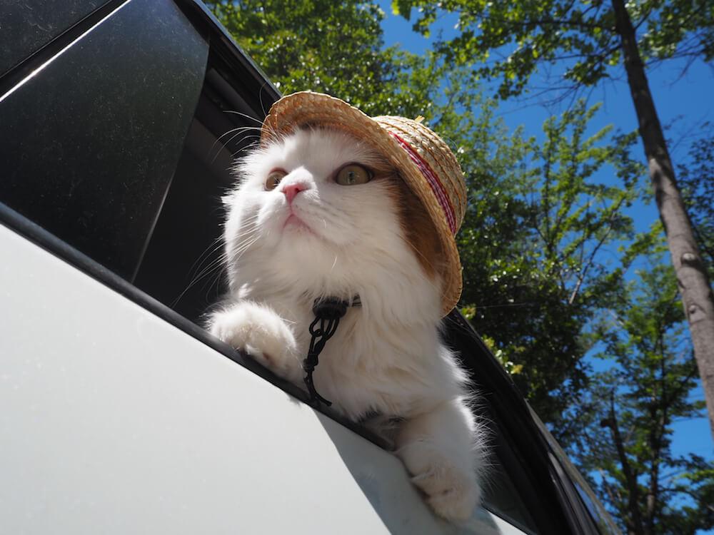 麦わら帽子をかぶる猫・ししまる(@sisimaru_8739)