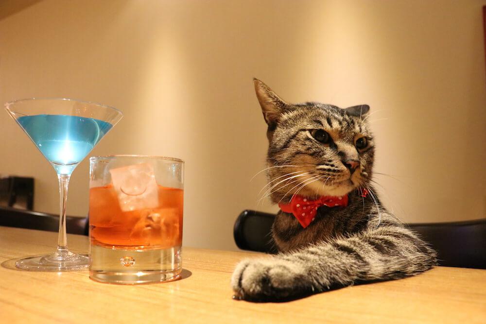 カクテルをふるまう猫店長大吉(@daikichi_the_cat)