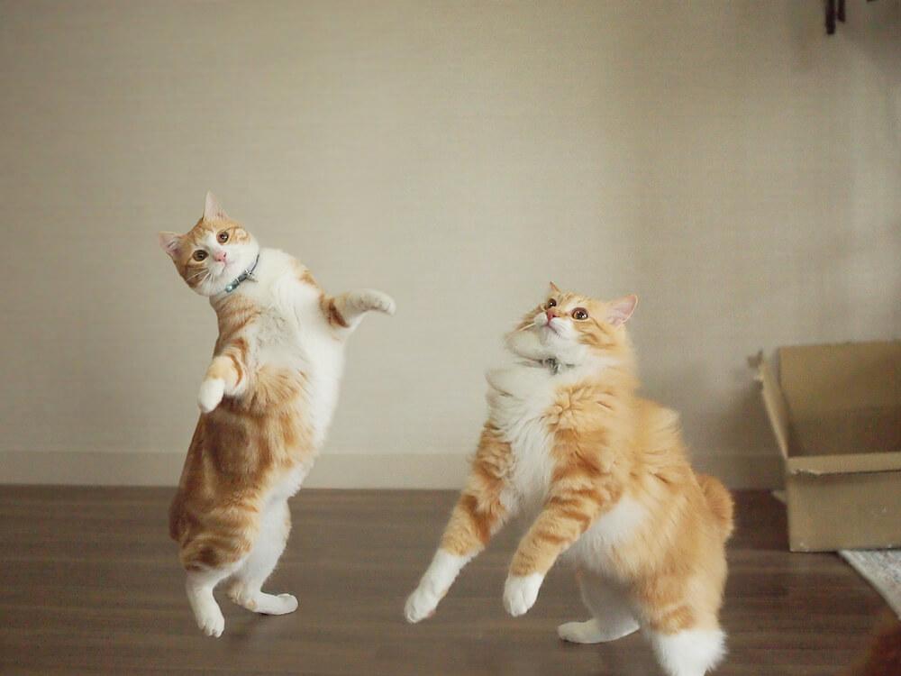2本足で立つ猫・うりといくら(@uri_to_ikura)