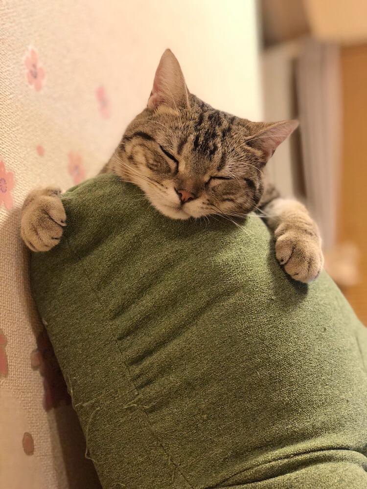 枕に顔をのせて眠る猫・うりといくら(@uri_to_ikura)