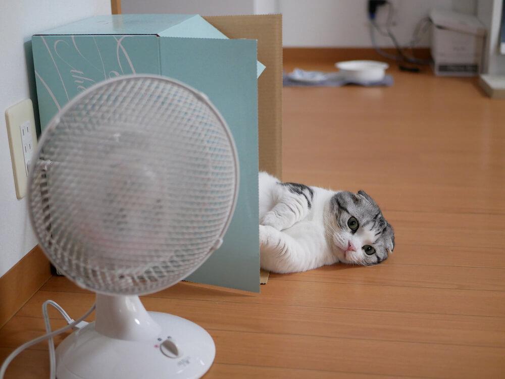 マンチカンの人気猫「まっぷーちん」