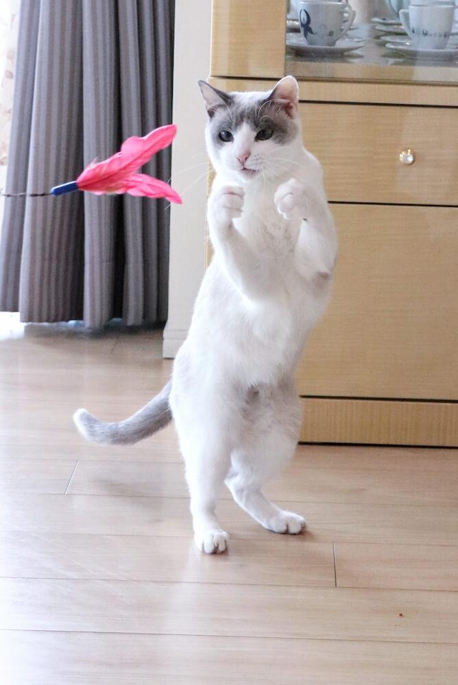 二足歩行をする猫・すず香(@wakaponsan)