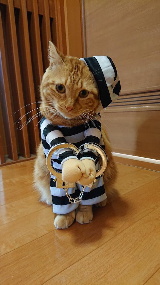 泥棒のコスプレをする猫・すず香(@wakaponsan)