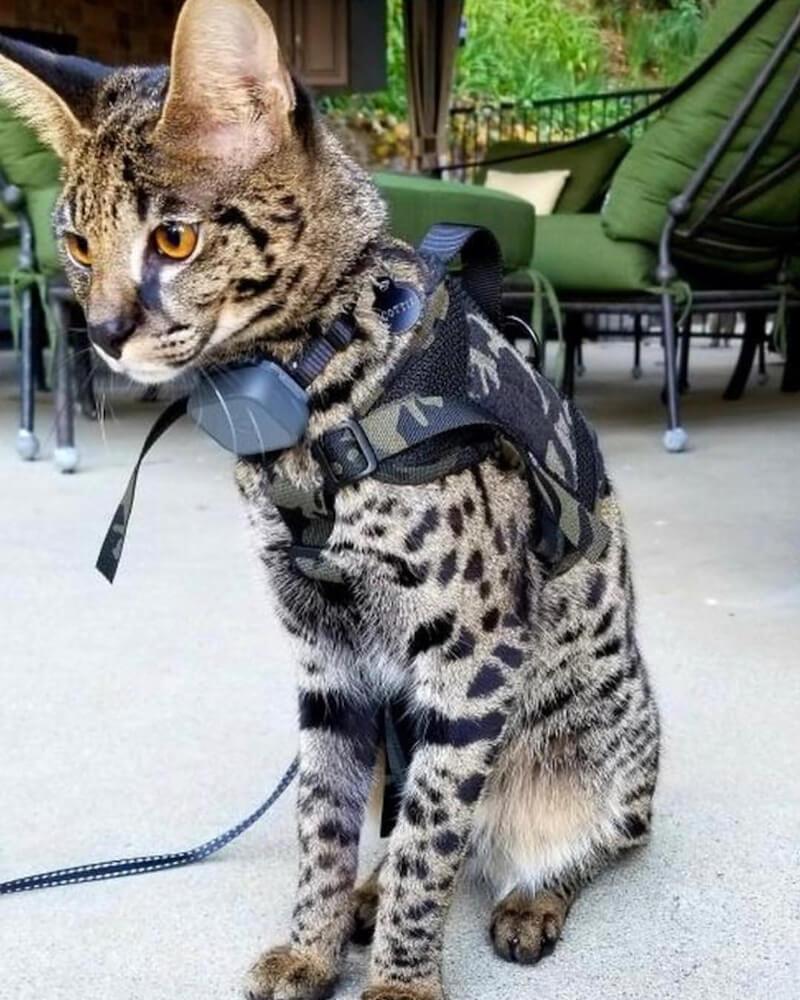 ペット用のハーネス(M1 Tactical Dog Harness Mesh Body)、マルチカムブラックカラーを装着した猫