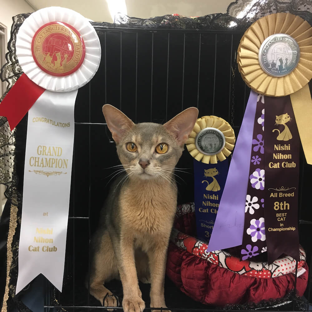 世界最大規模の愛猫協会「CFA」で表彰された美しい猫