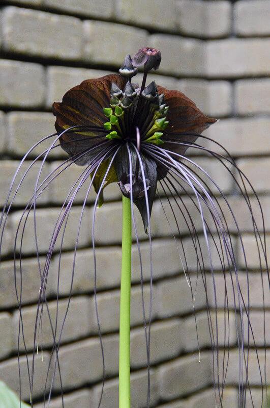 黒猫のように見える熱帯植物「タッカ・シャントリエリ(通称:ブラック・キャット)」のイメージ