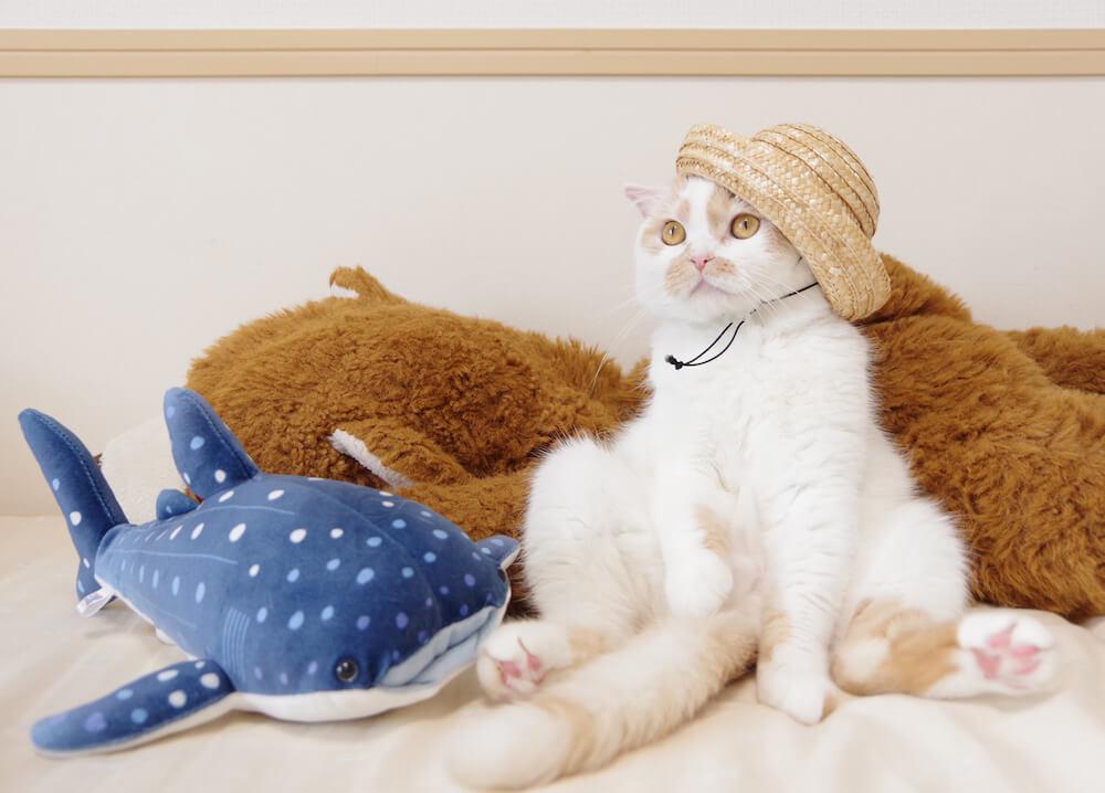 麦わら帽子を被るちくわ柄の人気猫・ホイップ
