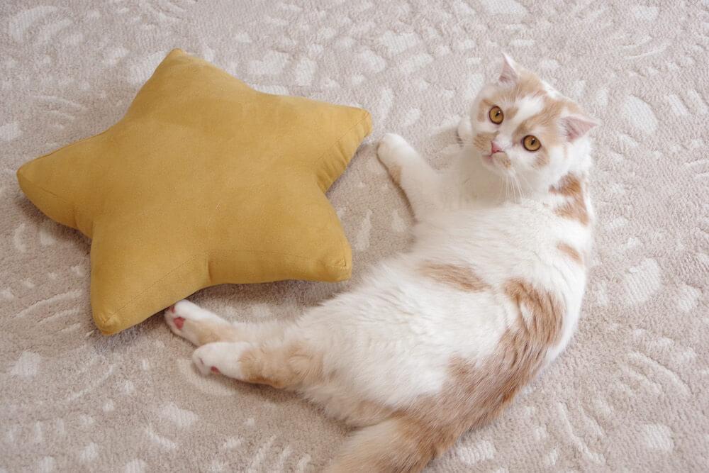 星型クッションの横に佇むちくわ柄の人気猫・ホイップ