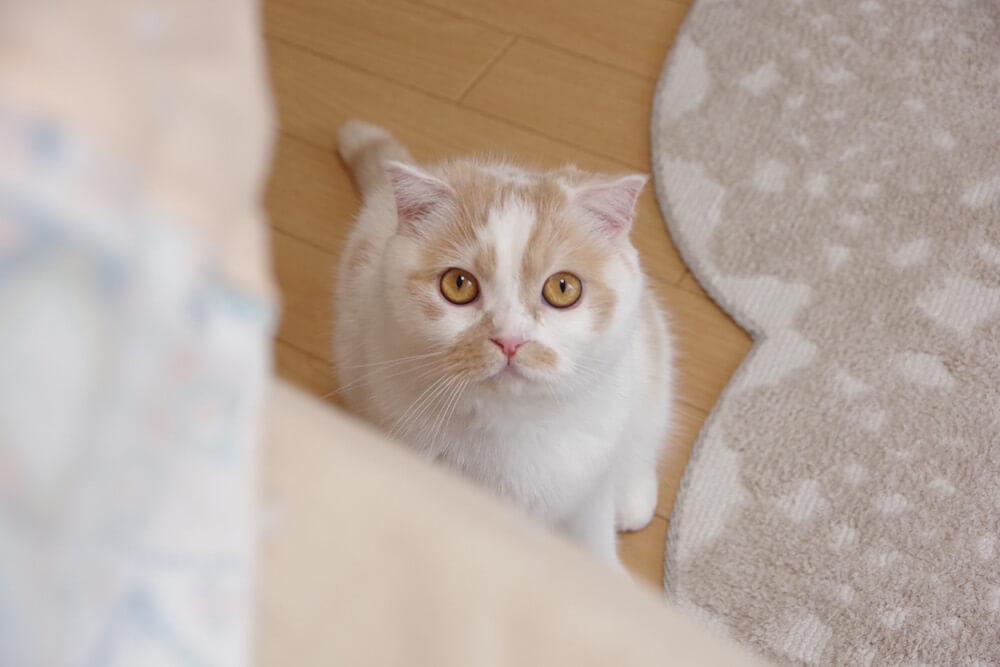 カメラ目線のちくわ柄の人気猫・ホイップ