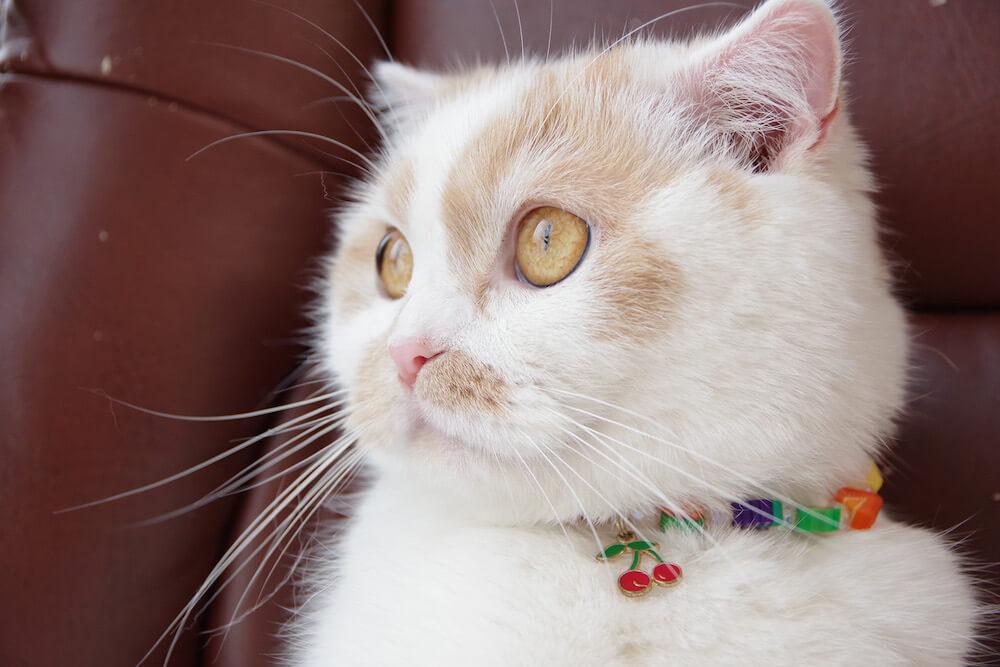 ちくわ柄の人気猫・ホイップの横顔