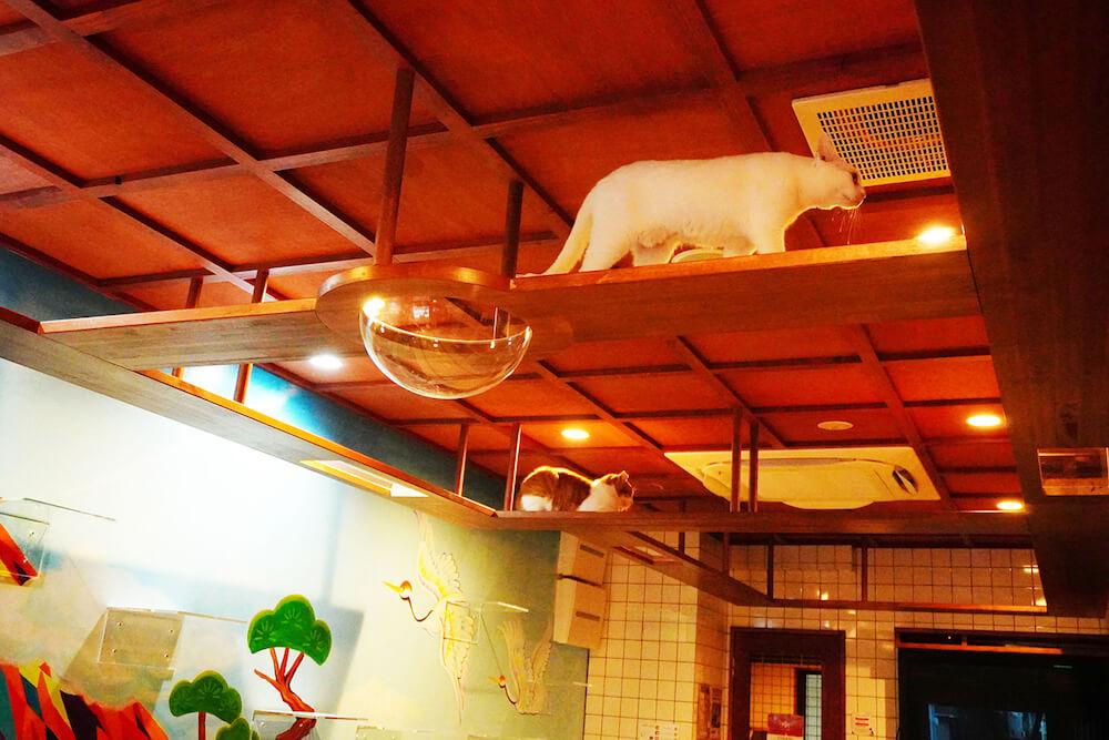 猫カフェ「ねこ浴場」の天井に張り巡らされたキャットウォーク