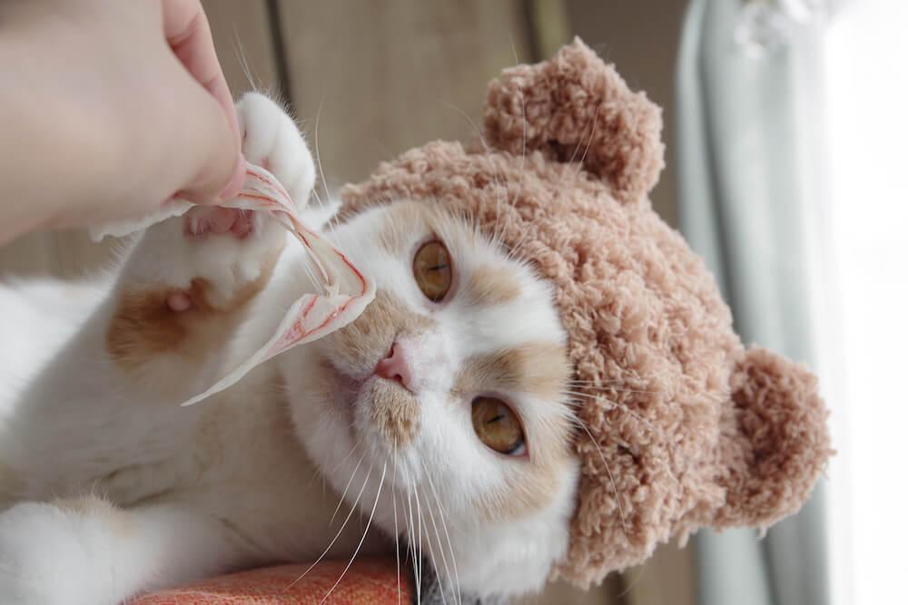 かぶりものを被るちくわ柄の人気猫・ホイップ