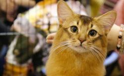 約100頭のニャンコが参加するCFAのキャットショーが浅草で開催!猫用品の販売もあるニャ