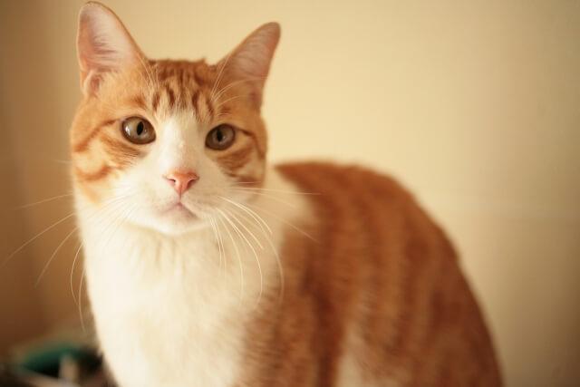 茶白猫のイメージ写真