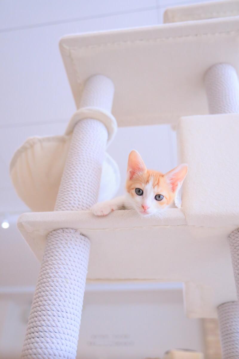 保護猫カフェの子猫「ニュージャーニー茶白」 by ねこめせん4