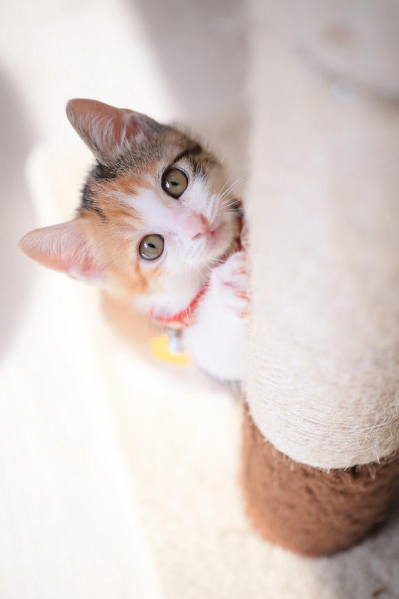 保護猫カフェの子猫「ひだまり号もみじ」 by ねこめせん4