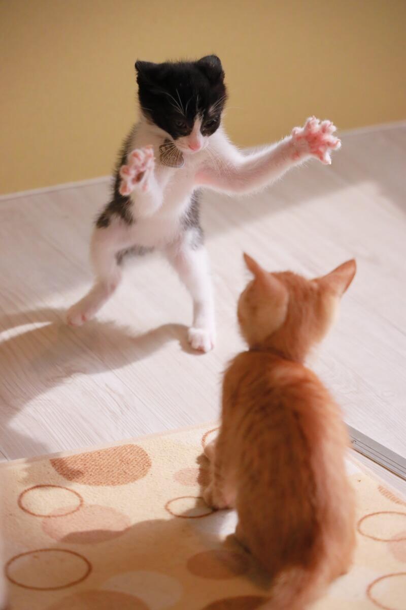 保護猫カフェの子猫「ひだまり号りつとれん」 by ねこめせん4