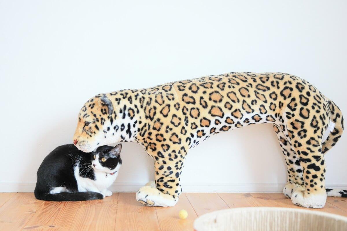 里親に譲渡された黒白猫の「サンちゃん」 by ねこめせん4