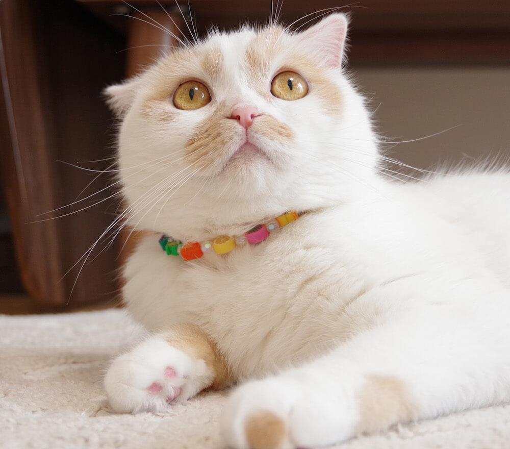 人気猫・ホイップの写真