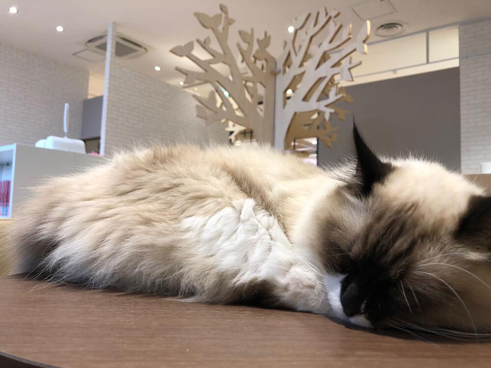 猫カフェ「コックンの別荘」の店内イメージ