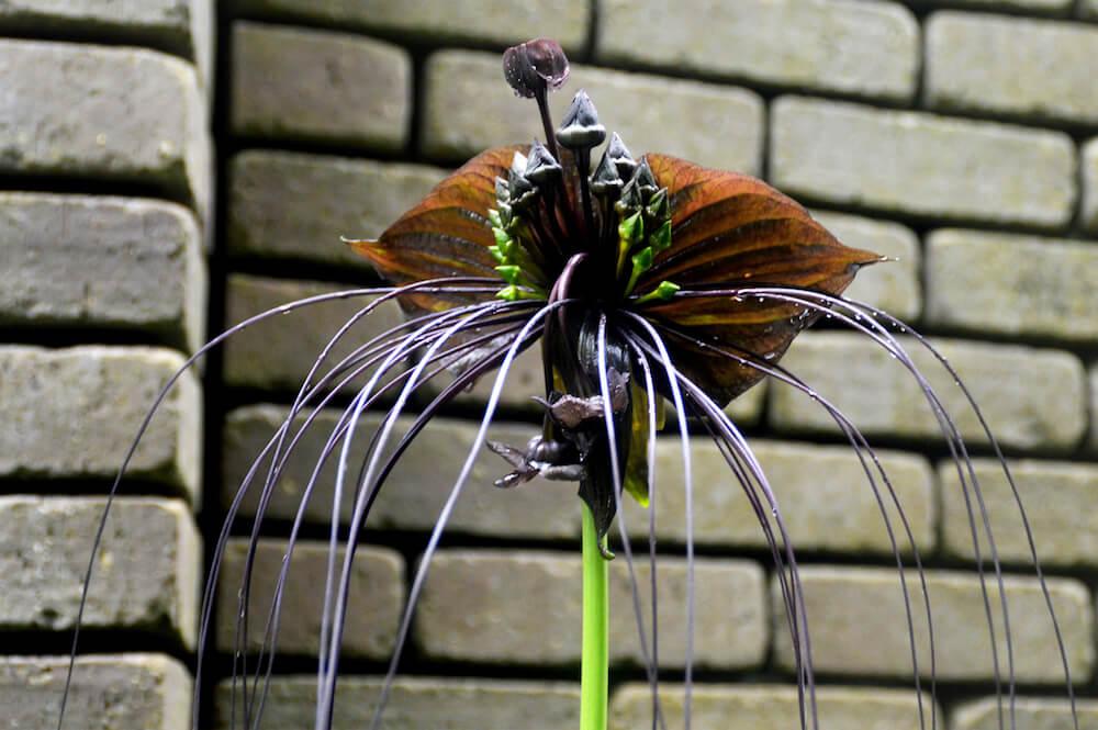 ヒゲの形や葉っぱの色が黒猫に似ている植物、ブラック・キャットの写真